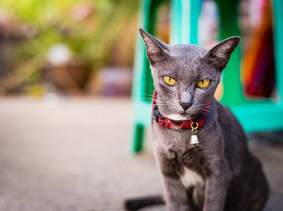 The Sam Sawet cat is a natural breed original from Thailand. These cats are affectionate with adults and do well playing with children.