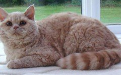 Cat breeds: the Selkirk Rex cat characteristics and behavior