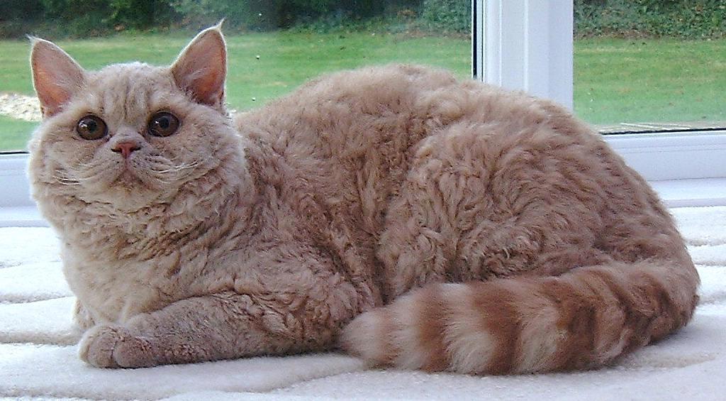 Cat breeds: the Selkirk Rex cat characteristics and behavior
