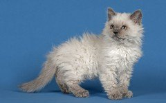 Razas Felinas: Gato Selkirk rex características y carácter