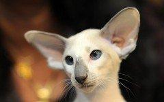 Razas Felinas: Gato Seychellois características y carácter