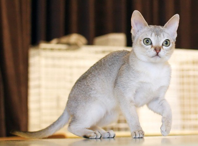 The Singapura cat is the smallest of all cat breeds. He has a great personality which makes him a great family pet. He is active and playful.