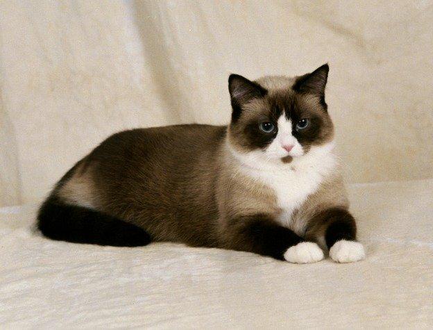 Razas Felinas: Gato Snowshoe características y carácter