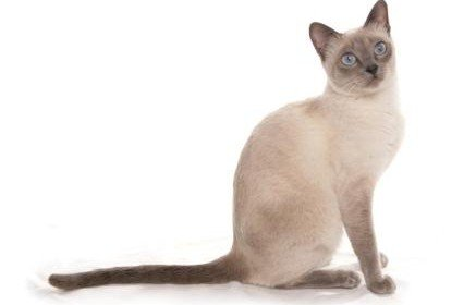 """The Thai Lilac cat is a cat that resulted from the crossing of two Korats. Korat means """"blue cat"""" in Thai, so this cat got a new name since he was pink."""