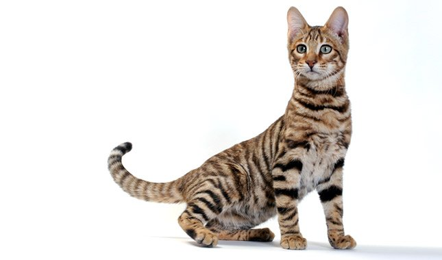 The Toyger cat is a breed designed to look like a miniature tiger. His creator, Judy Sugden, developed this loving cat to raise awareness for the tiger.