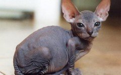 The Ukrainian Levkoy cat is of medium size and has particular folded ears and little to no hair. To this day, only Ukrainian and Russian associations have recognized him as a distinct breed.