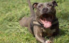 Pitbull perro mordidas: ¿mito o realidad?