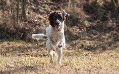 Cura del cane da caccia: salute e alimentazione