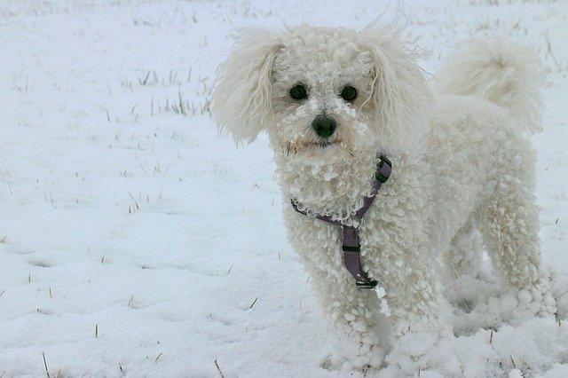 Razze di cani: il cane Bichon Frise carattere e caratteristiche