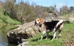 Giochi per cani beagle: quali sono i migliori?