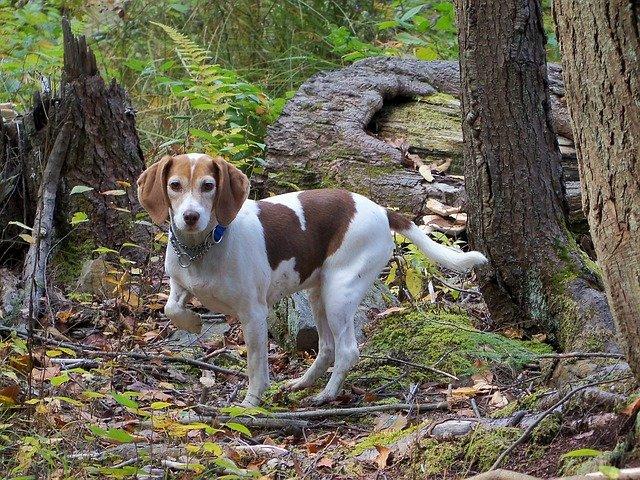 Alimentazione del cane segugio: la dieta corretta