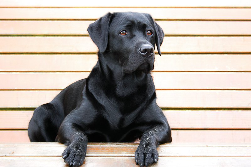 A black dog has lower chances of getting adopted at a shelter due to its coat color. This phenomenon is known as black dog syndrome.
