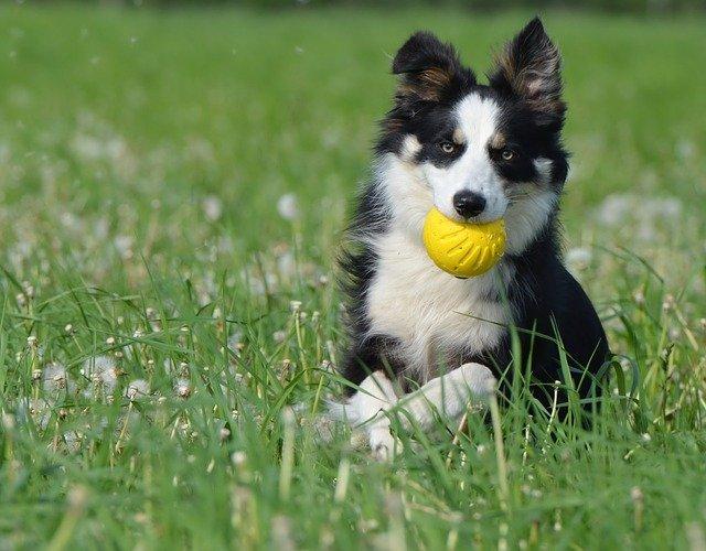 Giochi per cani border collie: i migliori da fare