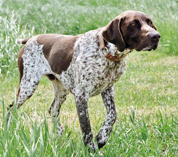 Razas de Perros: Perdiguero frances caracteristicas y cuidados