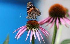 Echinacea: ottimo rimedio naturale per cani e gatti