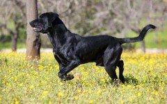 Razas de Perros: Pastor mallorquin caracteristicas y cuidados