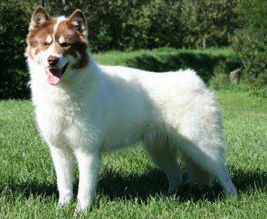 Razze Cani: il cane Eschimese, carattere e prezzo