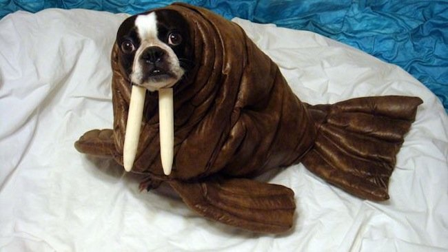 Most dogs look extra cute in their dog costumes. Either for Halloween or a party, there are beautiful designs. Consider his comfort before getting one.