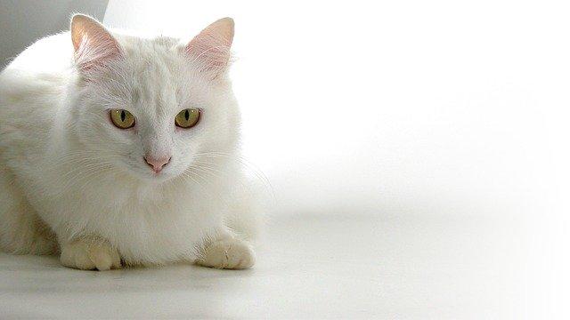 Gato blanco: cuidados y curiosidades de los gatos blancos