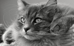 Alimentazione del gatto siberiano: la dieta corretta