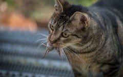 Ecco perché il gatto porta le prede morte in casa