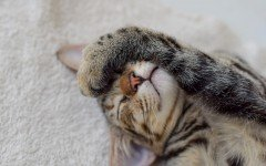 Tipos de gatos: conoce los gatos más afectuosos