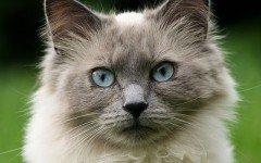 Congiuntivite nel gatto: cause e sintomi
