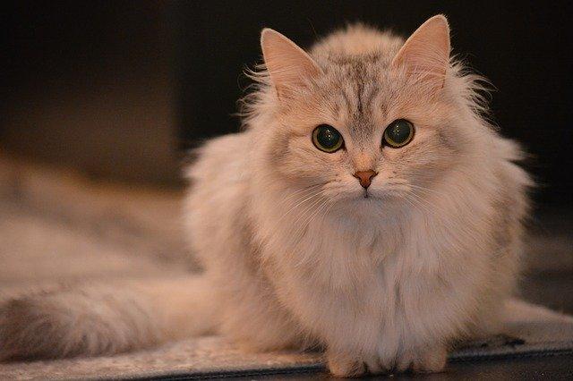 Alimentazione del gatto domestico, ecco come deve essere