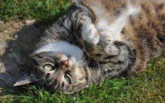 Alimentazione casalinga per il gatto sterilizzato