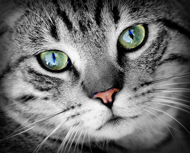Gatos monos: descubre a estos hermosos felinos