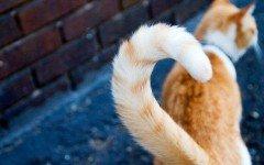 Rabo de gato: lo que dicen los gatos con su cola del gato