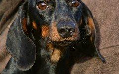 Educazione del cane bassotto e malattie del cane bassotto