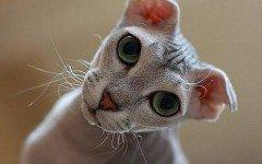 Gatos feos: conoce a esto felinos especiales
