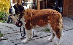 Malattie del cane San Bernardo: quali sono le più comuni?