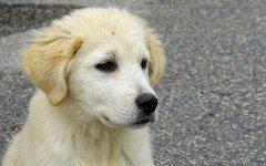 Malattie del cane maremmano: quali sono le più comuni?
