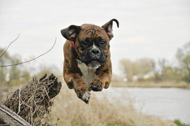 Giochi per cani boxer: idee per far divertire il nostro peloso