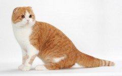 Razas Felinas: Gato Scottish fold características y carácter