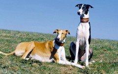 Razas de Perros: Lebrel polaco caracteristicas y cuidados