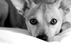 Como saber si un perro tiene fiebre: Cuidados y previsiones