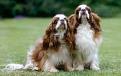 The English Toy Spaniel dog, or King Charles as it is known in Great Britain, is a dog that has been loved by kings and kept in high esteem by many.