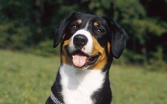 The Entlebucher Mountain Dog is a herding dog that loves to spend time with their families. He is loyal, smart, and enthusiastic.
