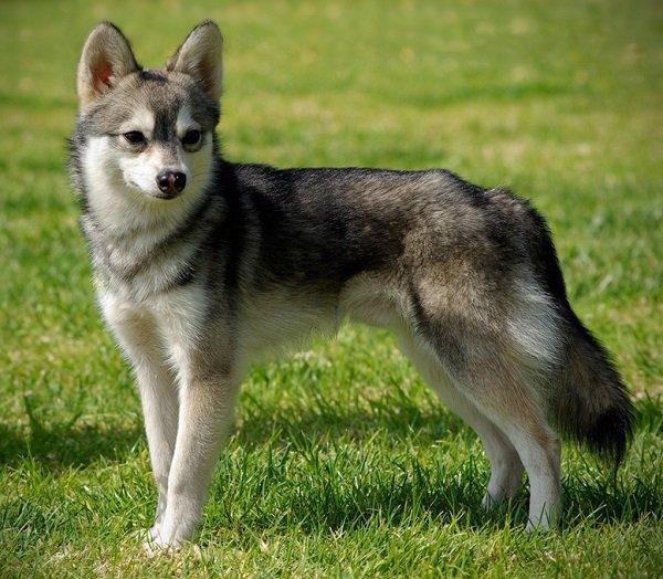 Razas de Perros: Alaskan Klee Kai caracteristicas y cuidados