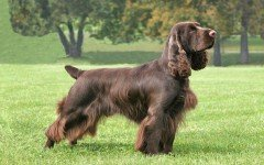 The Field Spaniel dog is a sporting group breed developed to retrieve game on land and water. Today, he is the loyal companion of many families.