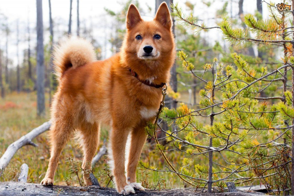 The Finnish Spitz dog is a talkative dog that will take you through all the eventualities of his day. It holds the honor of being Finland´s National Dog.