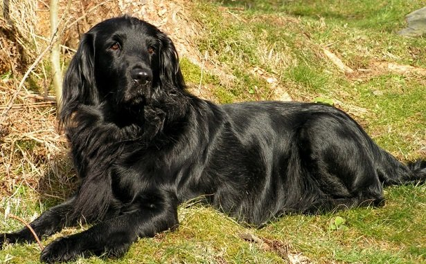 The Flat-Coated Retriever dog was developed in the United Kingdom to retrieve game on land and in water. He is a cheerful dog and great companion.