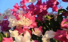 Oleandro: pianta bellissima ma pericolosa per i pelosi