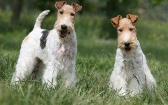 The Fox Terrier dog was developed to flush out foxes from their dens. Today, these dogs make great companions for active families.
