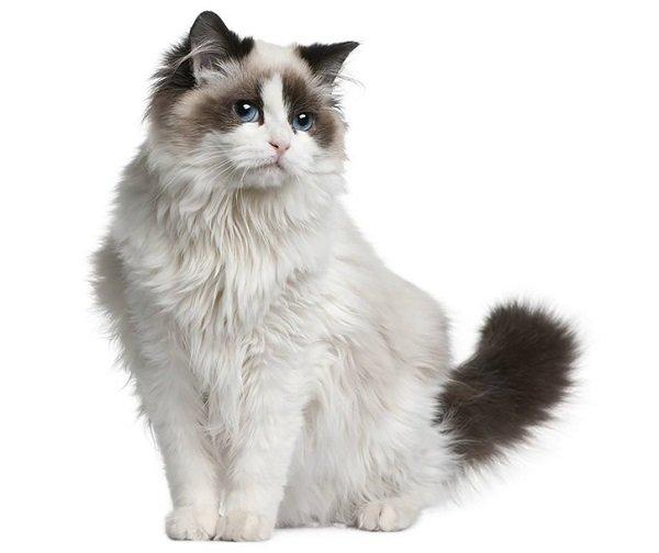 Razas Felinas: Gato Ragdoll características y carácter