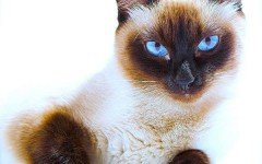 Razas Felinas: gato Siames tradicional características y carácter