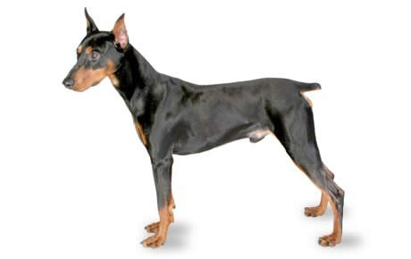 The German Pinscher dog is an agile, strong, elegant, working, and highly intelligent dog. But he is not for the faint of heart as he needs daily activity.